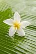 Singe white frangipani and banana leaf texture
