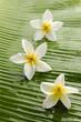 Three frangipani and banana leaf texture