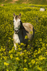 white horse on a landscape field of yellow flowers.