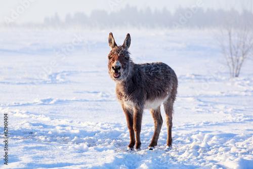 In de dag Ezel Grey donkey
