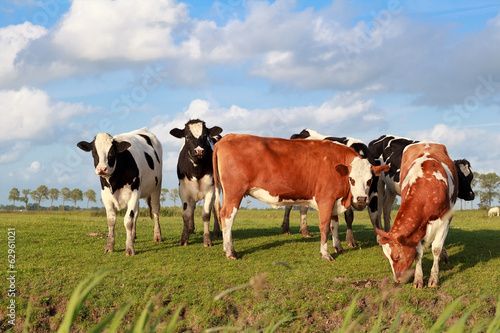 few cute cows on pasture over blue sky