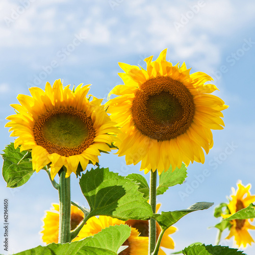 Two sunflowers against blue sky