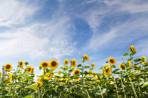 Sunflower field under blue sky