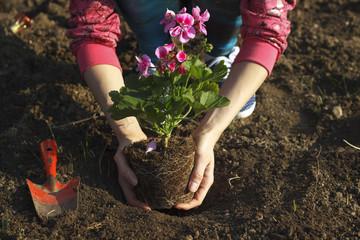 Gardening - Planting geraniums