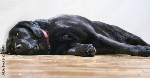 Lazy and sleepy velvet black labrador retriever mix