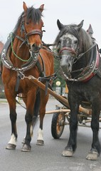 Two farm horses in traditional Slovene harness in carriage
