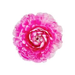 Ranunkulyus pink