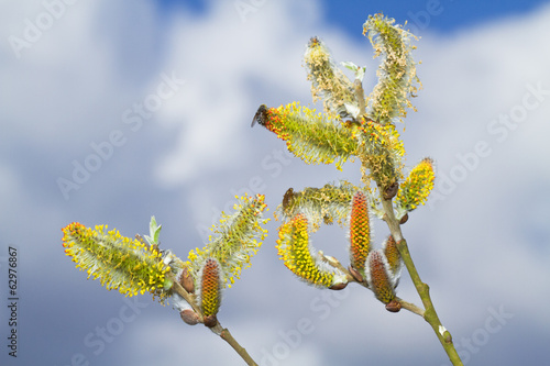 Catkins of a Willow against a blue sky with clouds