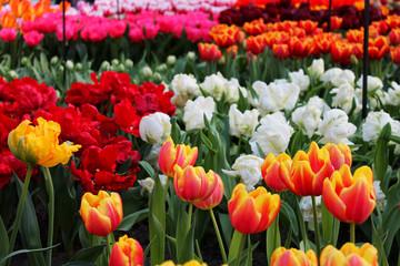 Multi-colored tulip field in Keukenhof, Netherlands