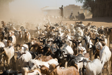 Herd of goats walking on a dusty road near Turmi, Ethiopia.