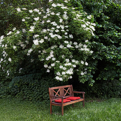 garden bench under flowering elder