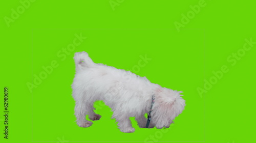 Cute dog eatin on green screen