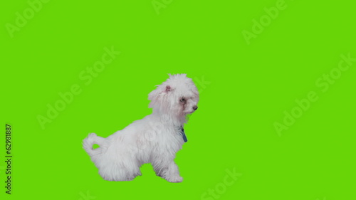 Waiting dog sits and lies down on green screen