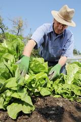 Mann beim Ernten von Salatkoepfen