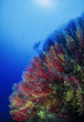 Italy, Calabria, U.W. photo, yellow/red gorgonians