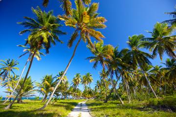 Palm grove along beach, Dominican Republic