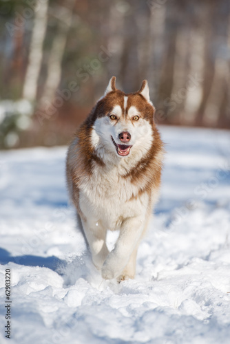 siberian husky dog running in winter