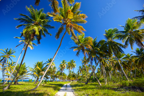 Palm grove along beach, Dominican Republic