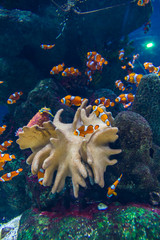 Clown fishes and zebrasoma yellow fish in aquarium