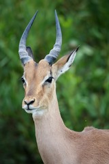 Young Impala Antelope Portrait