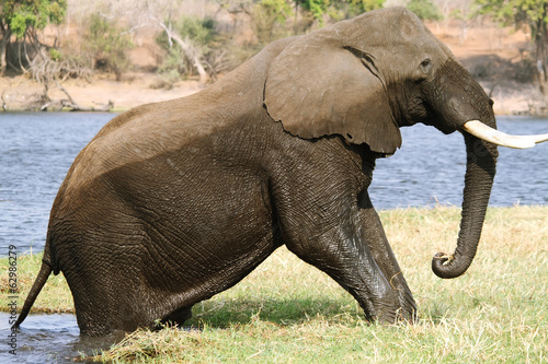 Elephant getting out of water in Chobe riverfront