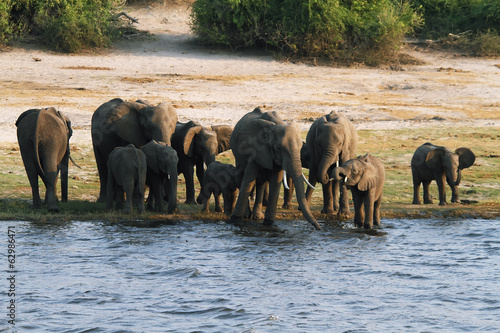 Elephants family in Chobe riverfront