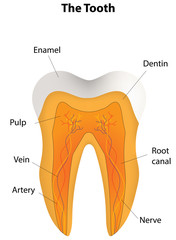 Tooth Labeled Diagram