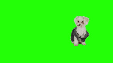Dog with sweater on green screen