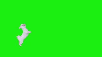Frame crossings of a white cute dog on green screen