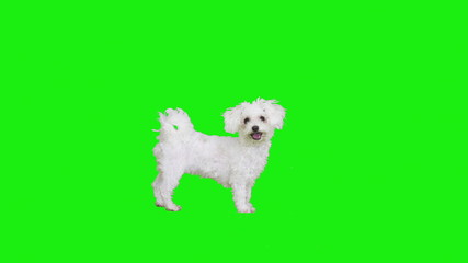 Gestures of a white dog on green screen