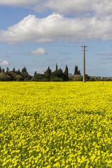 yellow Oxalis pes-caprae flower landscape