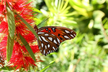 Gulf Fritillary on a Red Blossom