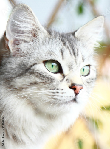 silver cat of siberian breed, adult female