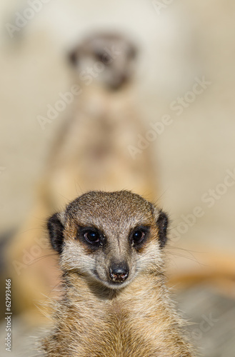 Meerkats (aka suricate) on guard duty