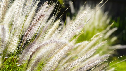 Close up on native grass plants in a garden with sunlight behind