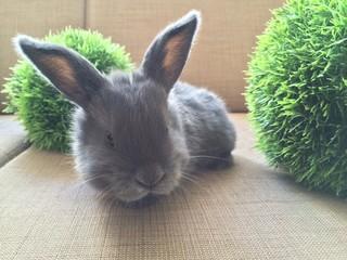 cute grey bunny