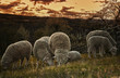 Groups of sheep grazing in a pasture