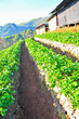 Strawberry farm in a mountain, Doi Angkhang, Chiang Mai, Thailan