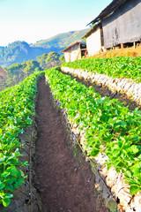 Strawberry farm in a mountain, Doi Angkhang, Chiang Mai, Thailan