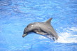 Bottlenose Dolphin Jumping in Pool - 62996407