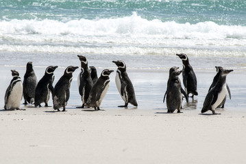 Falkland Islands - Magellanic Penguins On The Beach
