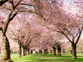 Romantischer Blütentraum Japanischer Kirschblüten :)