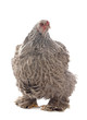 canvas print picture - brahma chicken