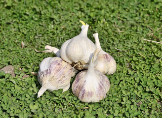 Group of sprouting garlic green grass