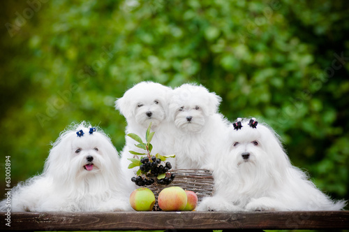maltese dogs family