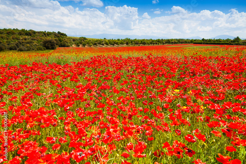 Red poppy flowers field in France