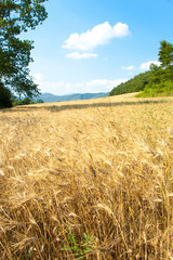 Wheat field and mountains on the background