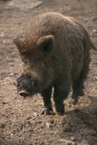 Wild boar with muddy snout trotting along poster