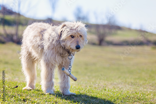 Romanian shepherd dog