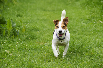A Jack Russell in a field in the summer.